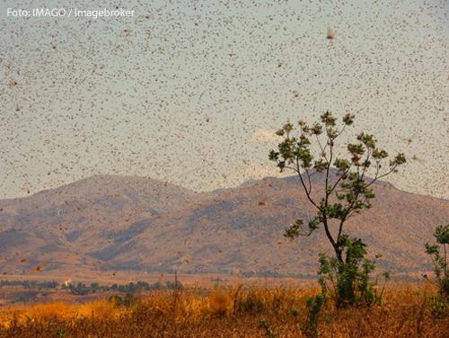Ein Schwarm Heuschrecken in einer Wüstenlandschaft in Afrika.