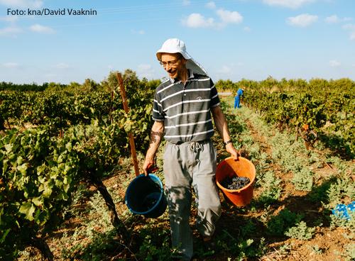 Ein Mann bei der Weinlese