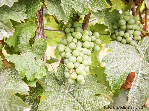 Weintrauben in einem Weinberg