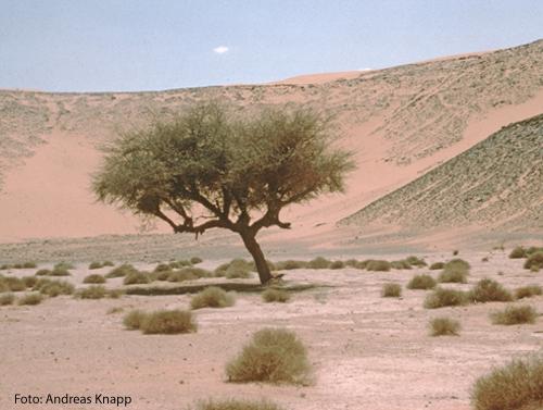 Ein Baum steht in einer Wüste.