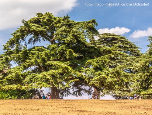 Libanon-Zedern in einem englischen Schlosspark